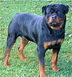 picture of  rotweiler
